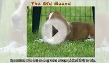 4 Essential English Words 5: Lesson 13 - The Old Hound